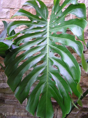 Tropical Garden Plants Vines Creepers Climbers Botany